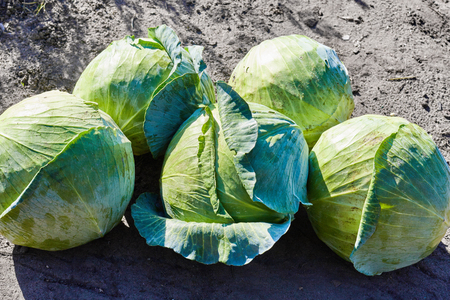Green natural vegetative round heads cabbage. Vegetarian food concept. Cabbage farm product on a soil background.