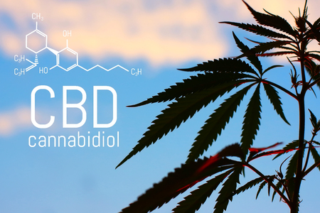 Medical Marijuana and Cannabidiol CBD Oil chemical formula. Growing premium cannabis products. Influence (positive and negative) of smoking marijuana on human brain, nervous system, mental activity and functions, cognitive functioning, development. Thematic photo hemp