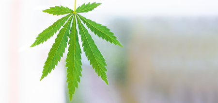 Close up of hemp (cannabis) growing plant with blurred sky background.  A place for copy space Stok Fotoğraf