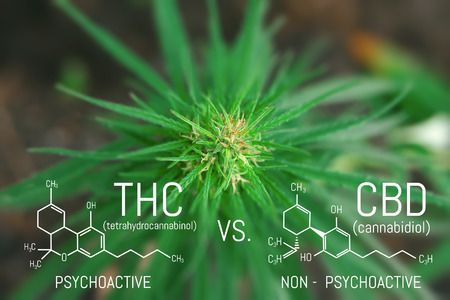 Medicinal cannabis with extract oil. Molecular structure medical chemistry formula hemp CBD - THC Stock Photo