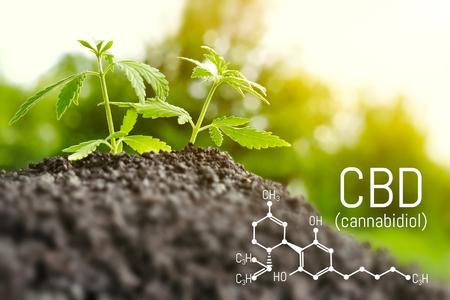 Anbau von natürlichem Marihuana mit kleinen Sämlingen aus Erde zur Herstellung von ätherischem Cannabisöl in medizinischen Präparaten. CBD-Öl Cannabidiol-Formel Standard-Bild