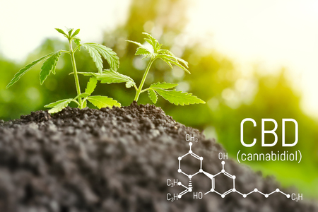Growing natural marijuana with small seedlings from