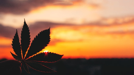 Beautiful Commercial Cannabis in the amazing sunset background. Close up of the marijuana leaf. Legalization in Canada, free cultivation of marijuana. Copy space for your lettering or design