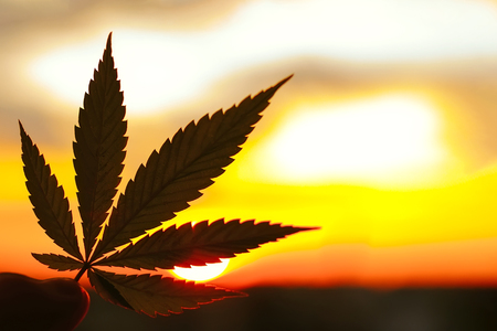Cannabis leaf, background image. Themed photos of cannabis plants and marijuana at sunrise. Premium product CBD - Cannabidiol. Blurred background with copy space 스톡 콘텐츠