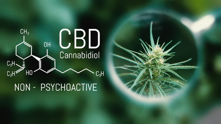 Medical Cannabis and Cannabidiol CBD Oil Chemical Formula. Growing Premium Marijuana products. Influence positive and negative of smoking marijuana on human brain, nervous system, mental activity and