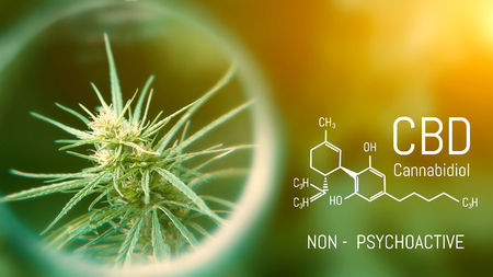 Medical Cannabis and Cannabidiol CBD Oil Chemical Formula. Growing Premium Marijuana products. Influence positive and negative of smoking marijuana on human brain, nervous system, mental activity and functions, cognitive functioning, development