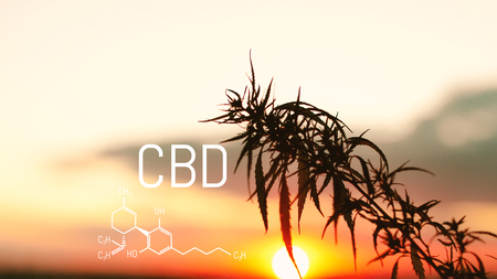 CBD chemical elements contained in the cannabis. Medical antispasmodic marijuana. Silhouette of hemp field in sunlight