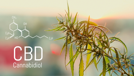 Image cannabis of the formula CBD. Marijuana field during sunset. Medical antispasmodic cannabis. Hemp industrial plantation in sunlight