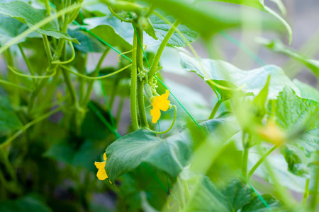 Growth and blooming of greenhouse cucumbers, growing organic food. Cucumbers on branch in greenhouse, yellow flowers on curling fluffy beautiful bush 版權商用圖片