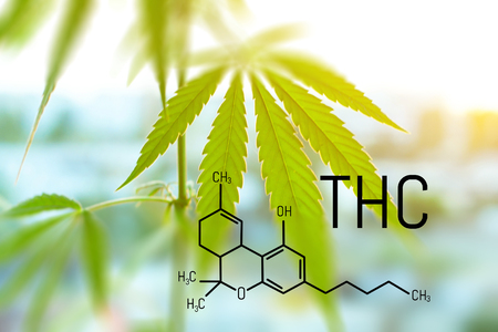 Legalized marijuana with a high level of THC for medical use, entertainment use of marijuana. Food supplements popular cannabis