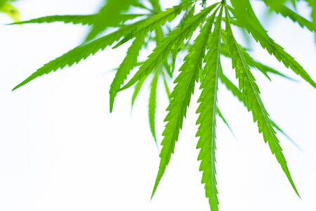 Green cannabis Bush with large marijuana leaves with hemp seeds. Cultivation of cannabis for the production of CBD oil, cream, for medicinal purposes in medicine, dog and cat pet food