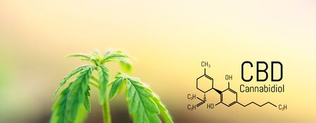 Cannabis leaf marijuana, CBD Chemical formula, beautiful background, concept for legalizing the cultivation of marijuana for medical use