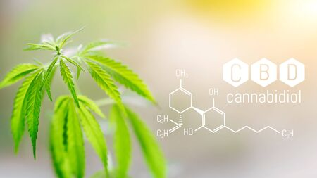 CBD chemical formula, space for copy space. Medical marijuana hemp for the production of CBD oil on a blurred background