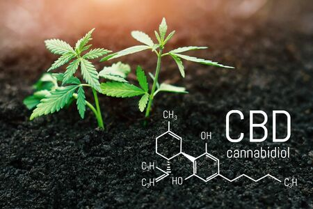Cannabis plant growing concept, hemp seedling growing from the ground, marijuana with green leaves. CBD chemical formula, beautiful background