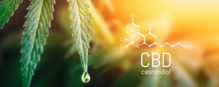 Concept Hemp Oil, CBD Chemical Formula, Cannabis oil, Medical herb concept. Cannabidiol or CBD molecular structural chemical formula. Beautiful background of cannabis, the place for copy space. 版權商用圖片