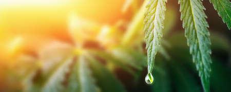 Large drop on the edge of hemp leaf, CBD oil cannabis concept, hemp oil, medicine products. Cannabidiol or CBD cannabis. Beautiful background, a place for copy space 版權商用圖片