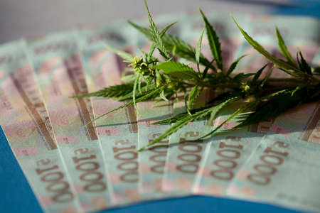 Marijuana business concept. Marijuana sales, revenues and profits from medical cannabis cultivation. Cannabis leaves and Ukrainian hryvnia banknotes