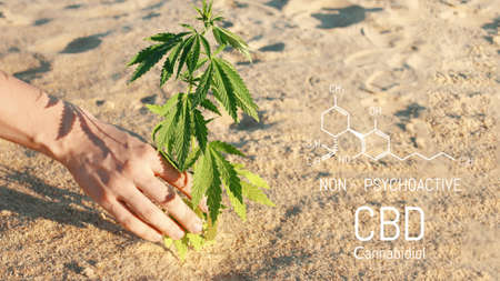 Researchers use hand to hold or examine cannabis plants in the greenhouse for medical research. Marijuana Sativa research concept. CBD oil, Herbal medicine 免版税图像