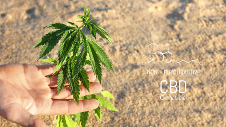 Hand holding young cannabis plant grown commercially for hemp production. Industrial hemp oil and fiber production. CBD oil