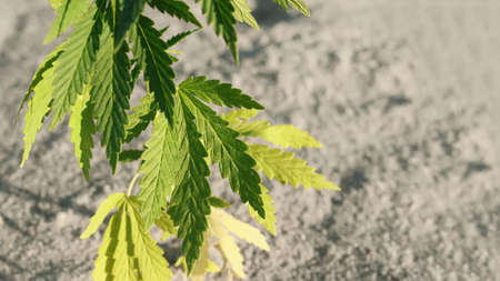 Cannabis or marijuana plant on blurred background with copy space. Growing organic cannabis background herb on the farm 免版税图像