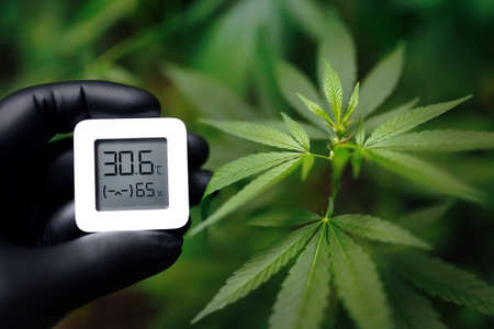 Humidity indicator is indicated on the hygrometer of the device in black glove hand and against the background of bush of medicinal cannabis or marijuana