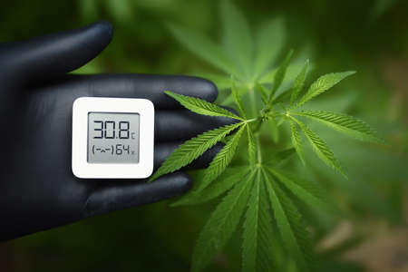 Cannabis plants, growing marijuana and measuring humidity and temperature with a thermo-hygrometer in a hand with a black glove. Growing weeds for hashish production