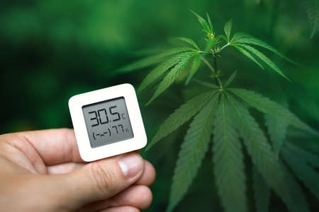 Hand holds an electronic device for measuring humidity and temperature on a green cannabis plantation. Hydrometer-thermometer used to monitor the growth and development of medicinal marijuana plants