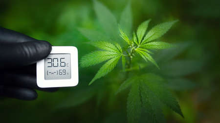 Hand in black glove holds an electronic device for measuring humidity and temperature on cannabis plantation. Hygrometer-thermometer used to monitor the growth and development of medicinal marijuana