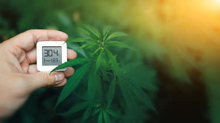 Electronic device in a hand for checking temperature and humidity when growing cannabis. Hygrometer shows moisture level for growing cannabis 免版税图像