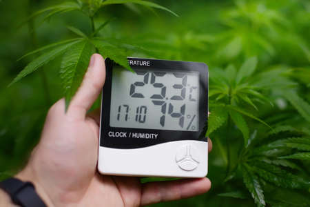 Cannabis bush with green hemp leaves with humidity sensor in hand, hygrometer shows value and temperature - medical marijuana concept