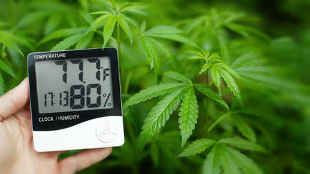 Digital thermometer and hygrometer in hand, contactless control of the growth conditions of marijuana, cannabis, weed and hemp. Medical marijuana concept
