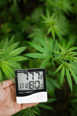 Thermometer and hygrometer in hand shows the temperature and humidity next to the cannabis or hemp plant. The humidity indicator is indicated on the hygrometer of the device 免版税图像