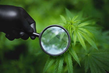 Doctor or scientist holds magnifying glass in his hand against the background of cannabis bush with green leaves and magnifying glass. Alternative medicine. Marijuana for medical and business concepts