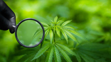 Close-up of doctor's hands, who are wearing black gloves and holding magnifying glass, checking the organic fresh cannabis leaves on the hemp bushes. Cannabis testing
