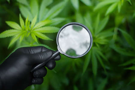 Hand in a black glove holding magnifying glass to look at bunch of hemp leaves on hemp or cannabis bush. Marijuana plantation for medical and business concept