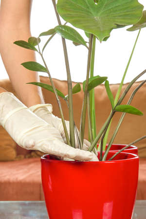 planting houseplants with gloves on white background