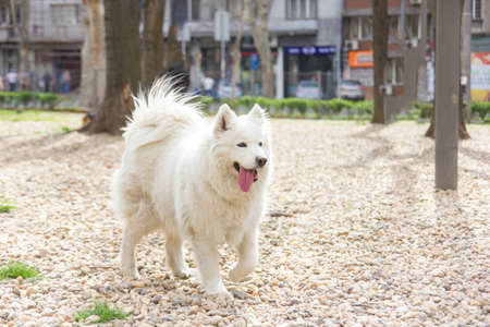 samoyed dog running outside in summer park with tongue sticking out photo