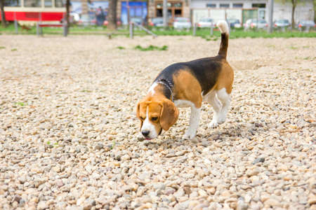 beagle sniffing outside