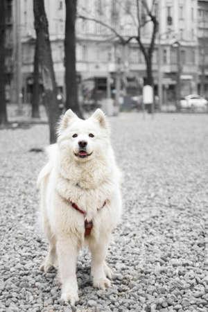 beautiful samoyed dog portrait isolated on black and white background photo