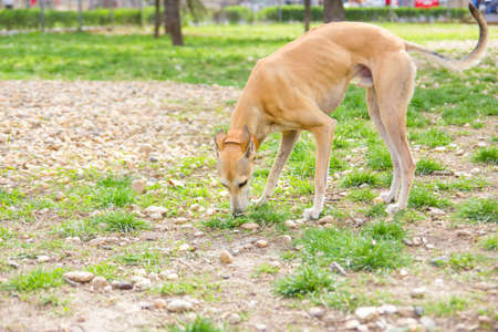 greyhound dog in park sniffing and playing photo