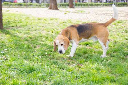 sniffing: old dog beagle sniffing in the park with green grass around him Stock Photo