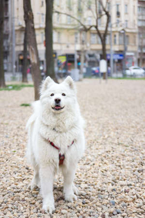 beautiful samoyed dog portrait standing in park photo