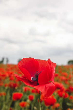 Gorgeous blooming red poppy flower against cloudy summer sky photo
