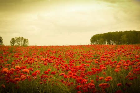 poppy flowers: Field of flowers on sunset with beautiful idyllic red poppies
