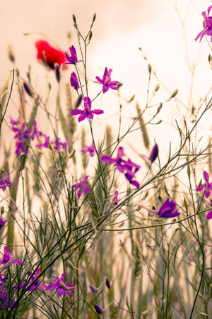 Misty morning in nature with wild flowers violet and red, selective focus photo