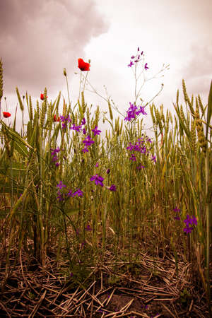 Wild flowers in red and violet colour in wheat field under cloudy sky landscape photo