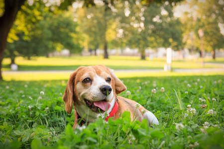 The cutest beagle puppy dog lying in the grass in summer field