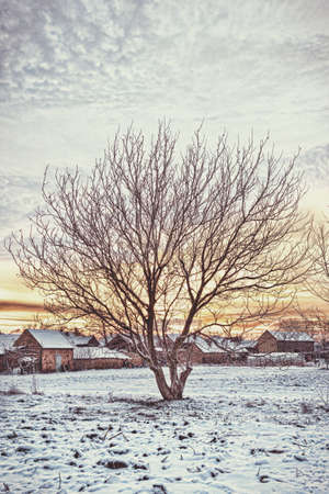 snow field: Landscape photo of empty walnut tree with bare crown in winter next to rural village in empty white field on snow contryside, sunrise or sunset time.