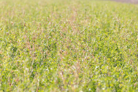 flourished: Grass Field with Clover. Flourished and Endured the Old Green Clover in Agriculture Land.