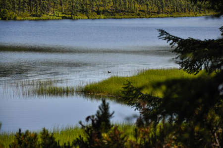 Taiga Lake framed by a green forest. Little duck on the water